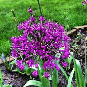 Springtime allium